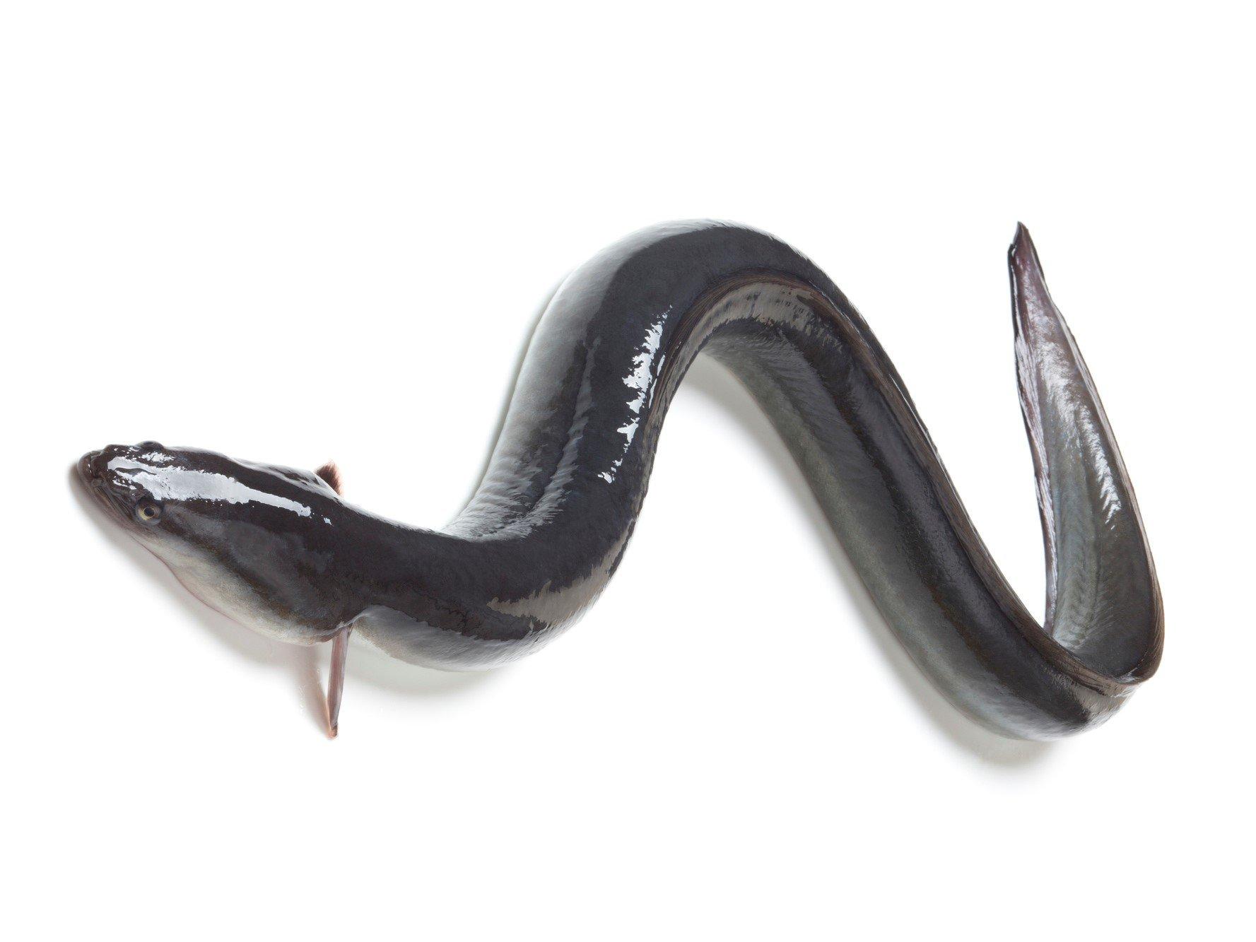 ニホンウナギ画像