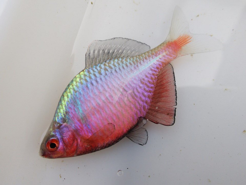 タイリクバラタナゴ画像